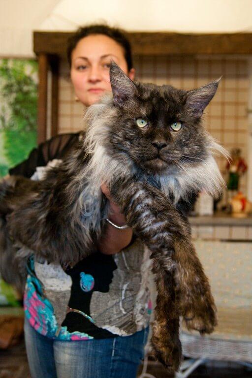 цена кошка мейн кун фото